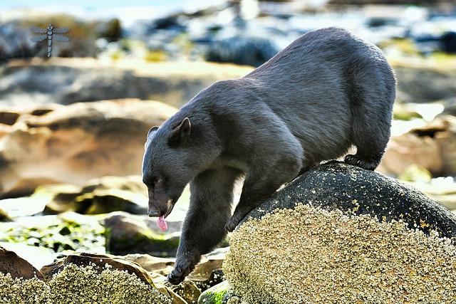 barnacle bear beauty . . .