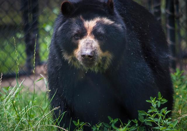 Sun Bear Face