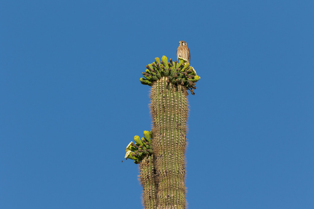 A female American kestrel perches atop flower buds and blossoms on a saguaro on the Granite Mountain Loop Trail in McDowell Sonoran Preserve in Scottsdale, Arizona in May 2018