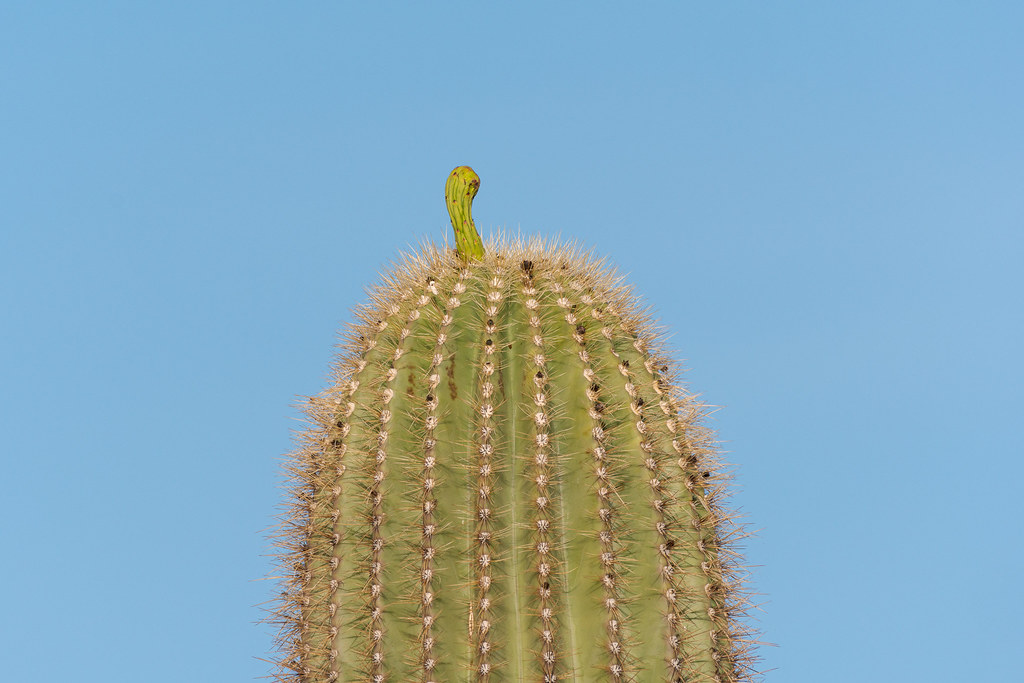 A single flower bud grows atop a saguaro along the Hackamore Trail in McDowell Sonoran Preserve in Scottsdale, Arizona in May 2019