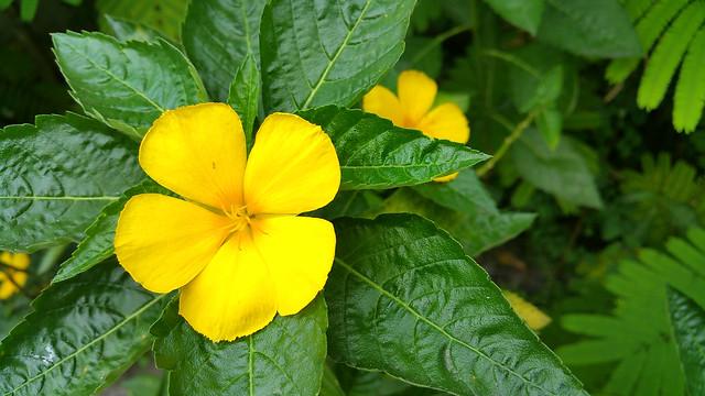 browallia speciosa in the garden