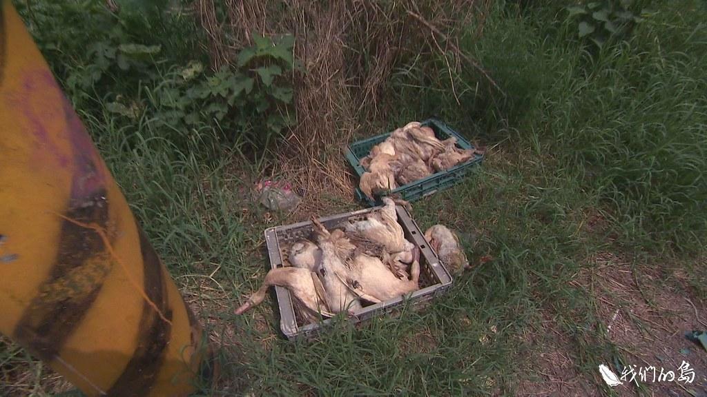 我們實地走訪幾處養禽場,仍發現有農民習慣把屍體直接露天放在牧場門外,等待化製車收取。