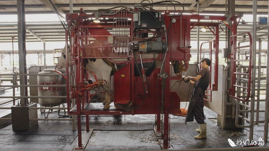 牛走進這台專門修蹄用的支架,不需要耗費太多力氣,就能讓牛安穩的站在上面進行修蹄。