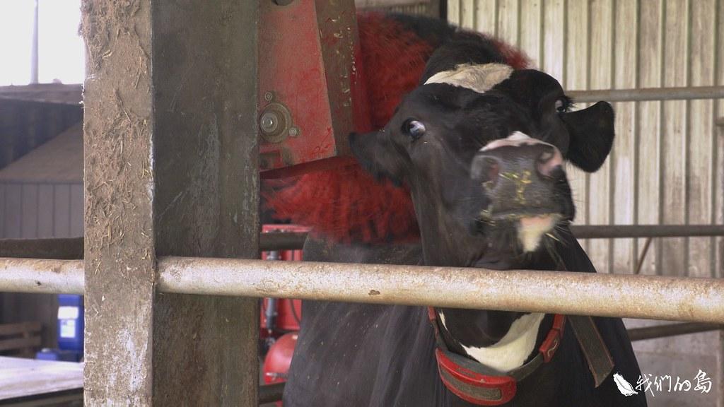 牧場一角的刷背機,是乳牛最喜歡的玩具。