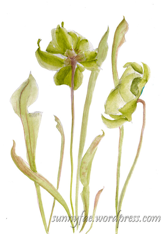 pitcher plant flowers