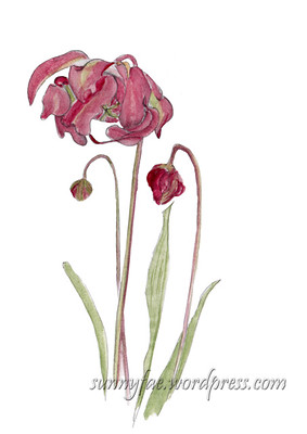 red pitcher plant flowers
