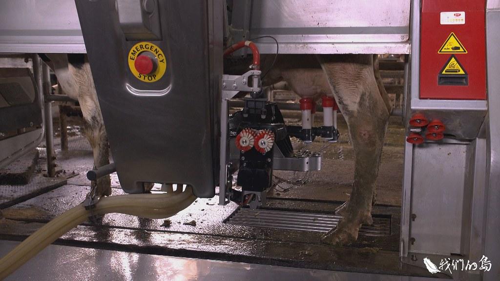 擠乳機器人,只要牛一靠近,閘門就會打開,走到定位,消毒、套乳杯到擠奶,全都自動完成。