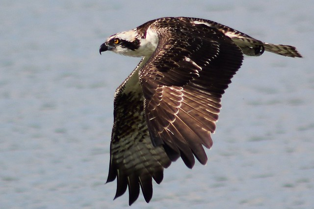 osprey or more specifically the western osprey (Pandion haliaetus)