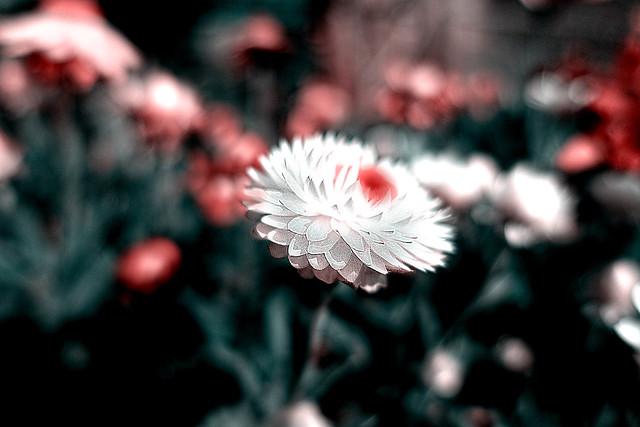 Straw flowers in my garden