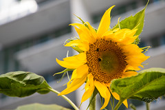 Urban Sunflower