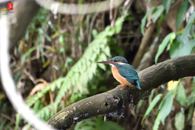 Common_Kingfisher_5010