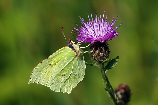 K32P0121c Brimstone, Devil's Dyke (Cambs), July 2019