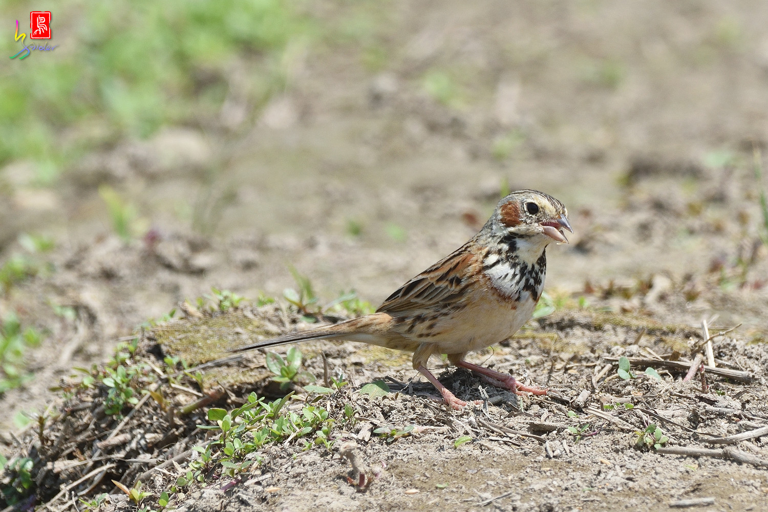 Chestnut-eared_Bunting_5572