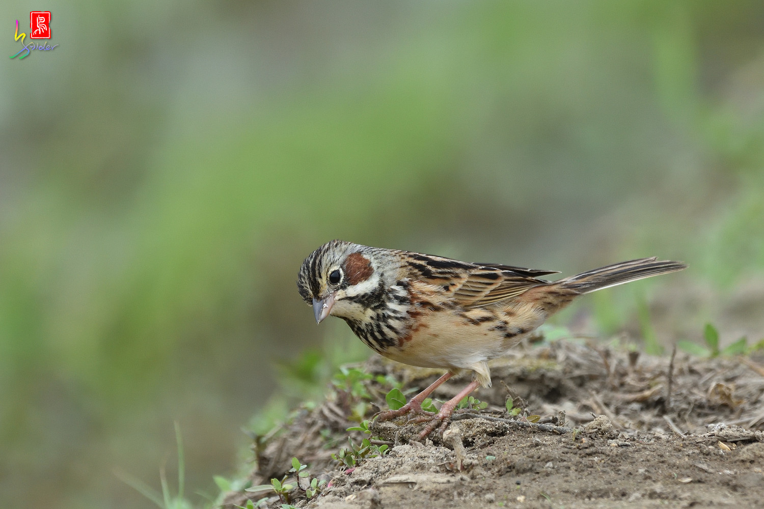 Chestnut-eared_Bunting_6417