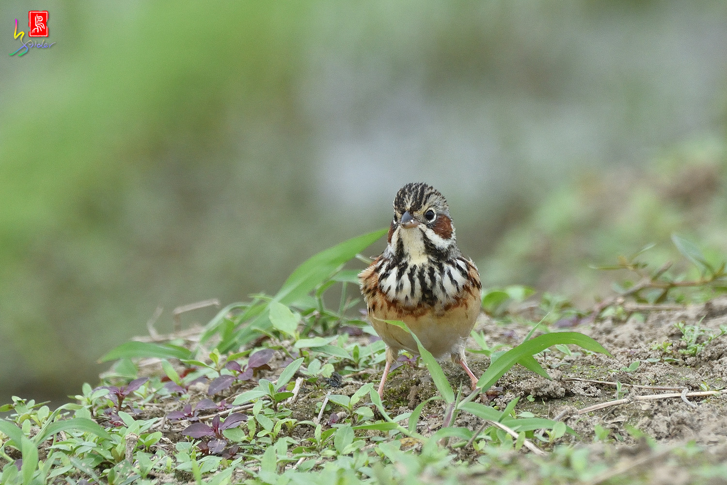 Chestnut-eared_Bunting_6391
