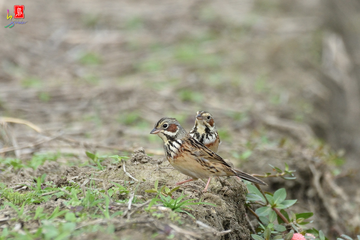 Chestnut-eared_Bunting_6345