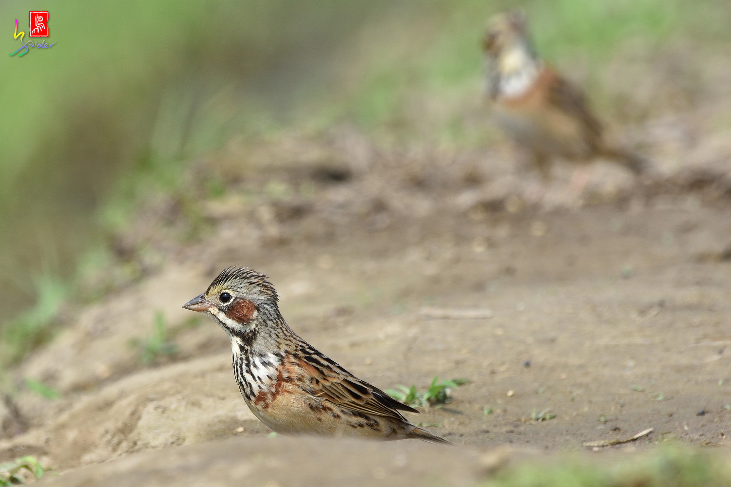 Chestnut-eared_Bunting_5963