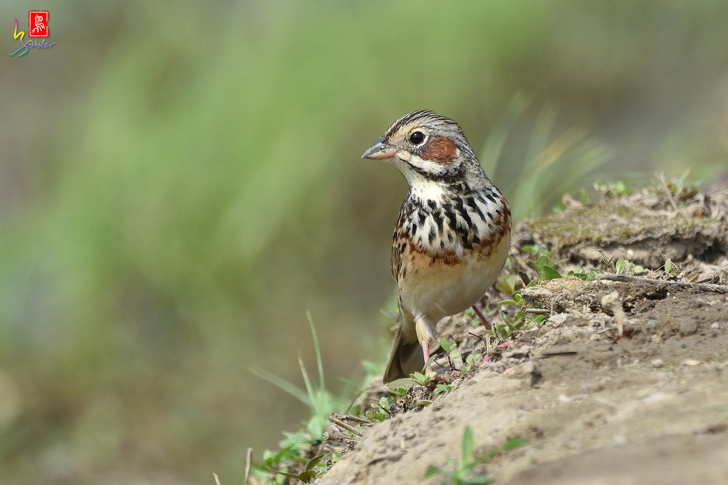 Chestnut-eared_Bunting_5879