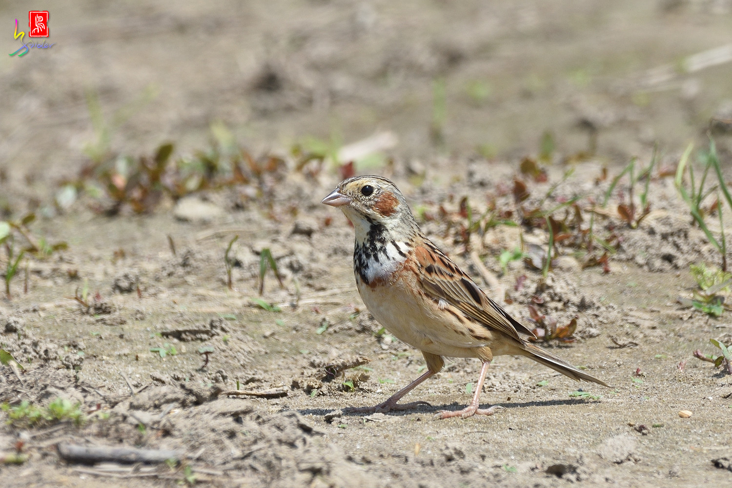 Chestnut-eared_Bunting_5447