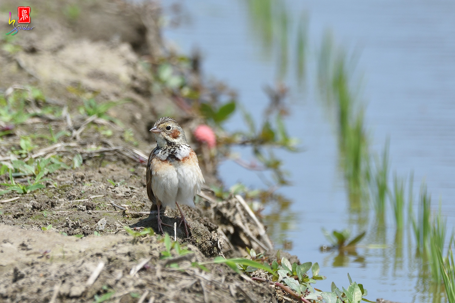 Chestnut-eared_Bunting_5441