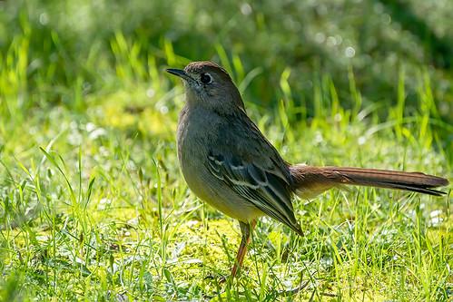 Southern Scrub-robin (Drymodes brunneopygia)