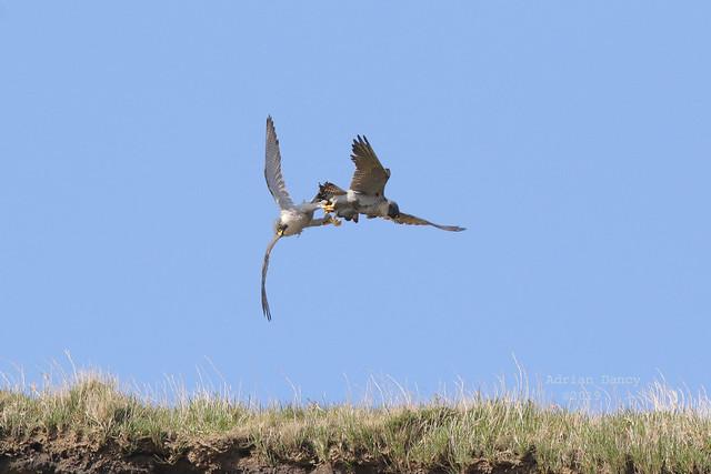 9P1A0329 Peregrine Falcon Attack