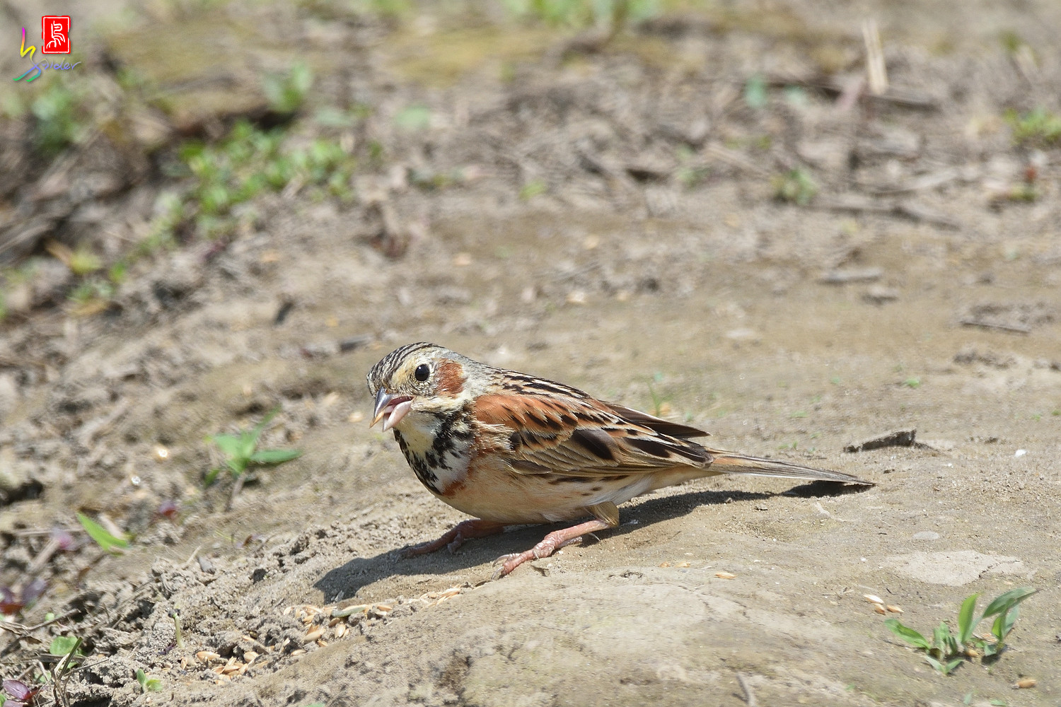 Chestnut-eared_Bunting_5657