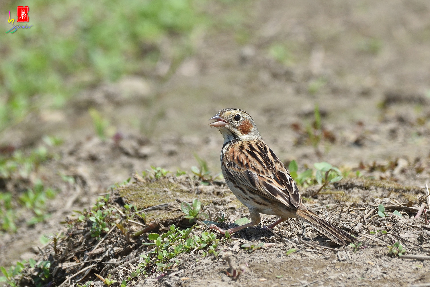 Chestnut-eared_Bunting_5565
