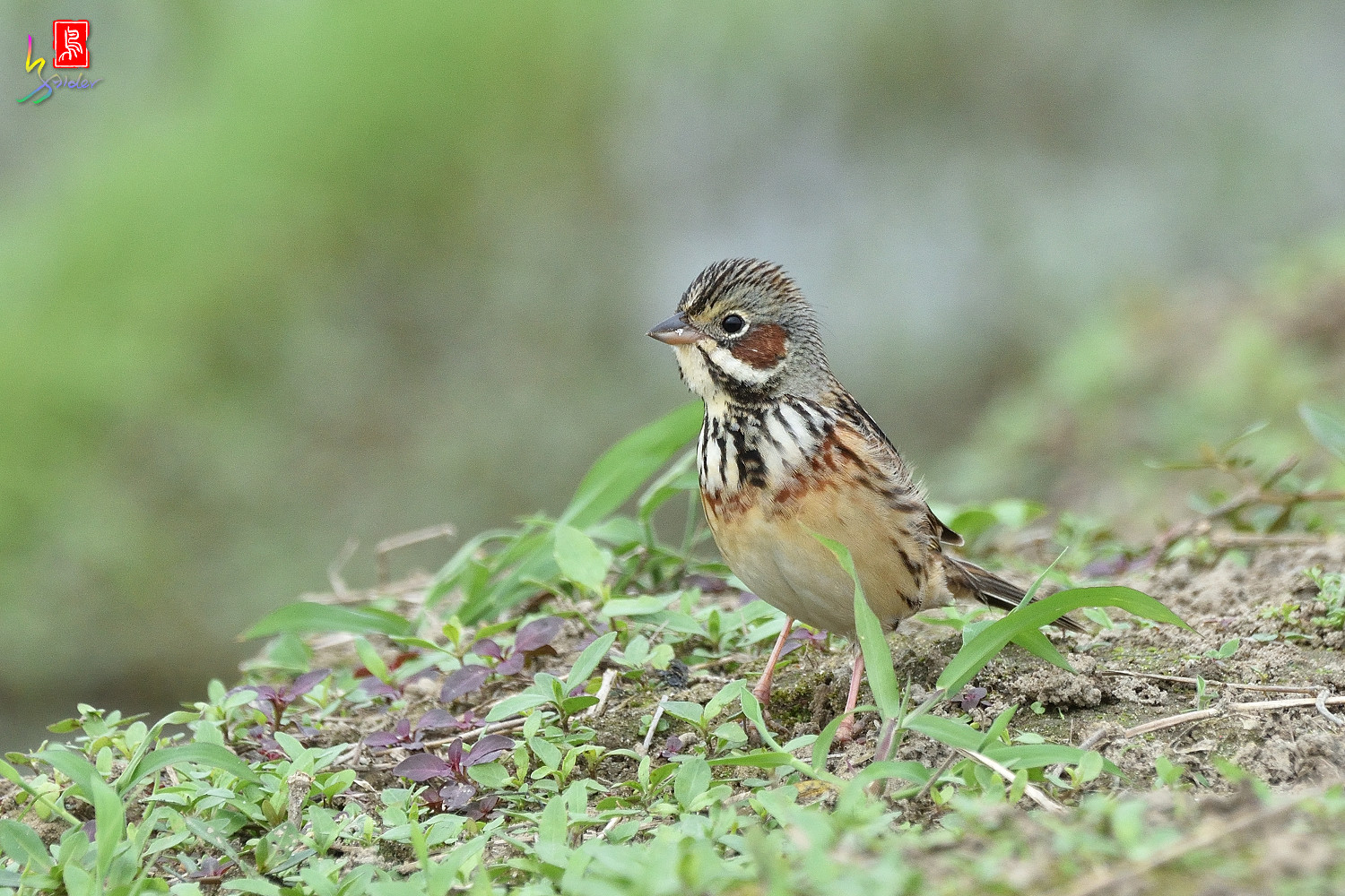 Chestnut-eared_Bunting_6395