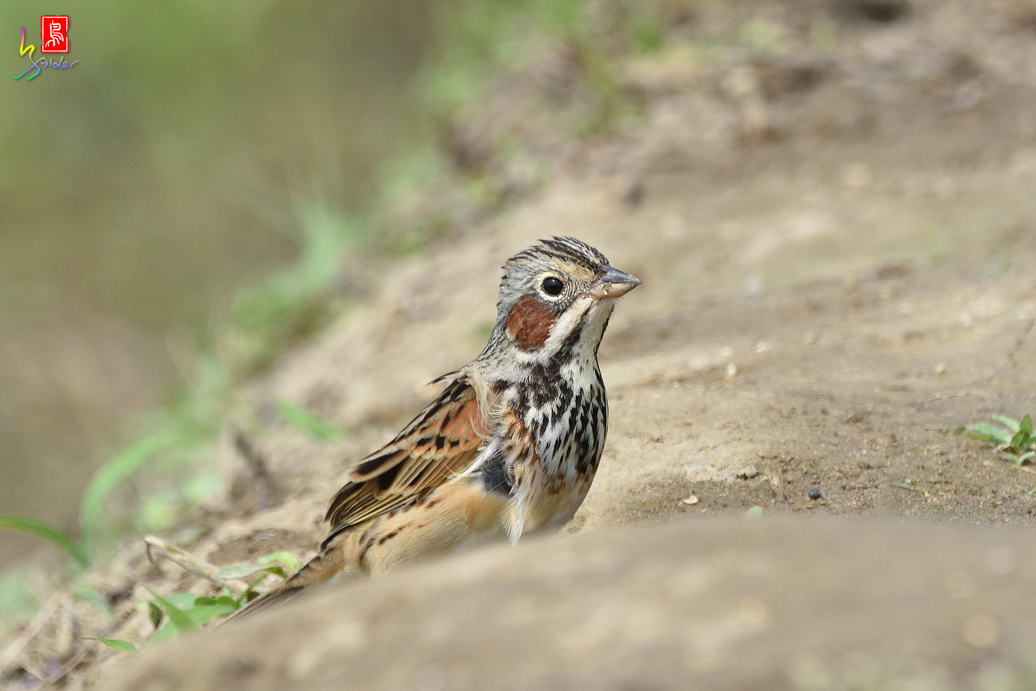 Chestnut-eared_Bunting_5952