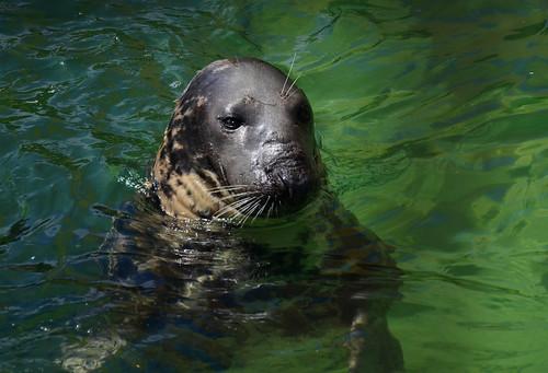 Cornish Seal Sanctuary at Gweek