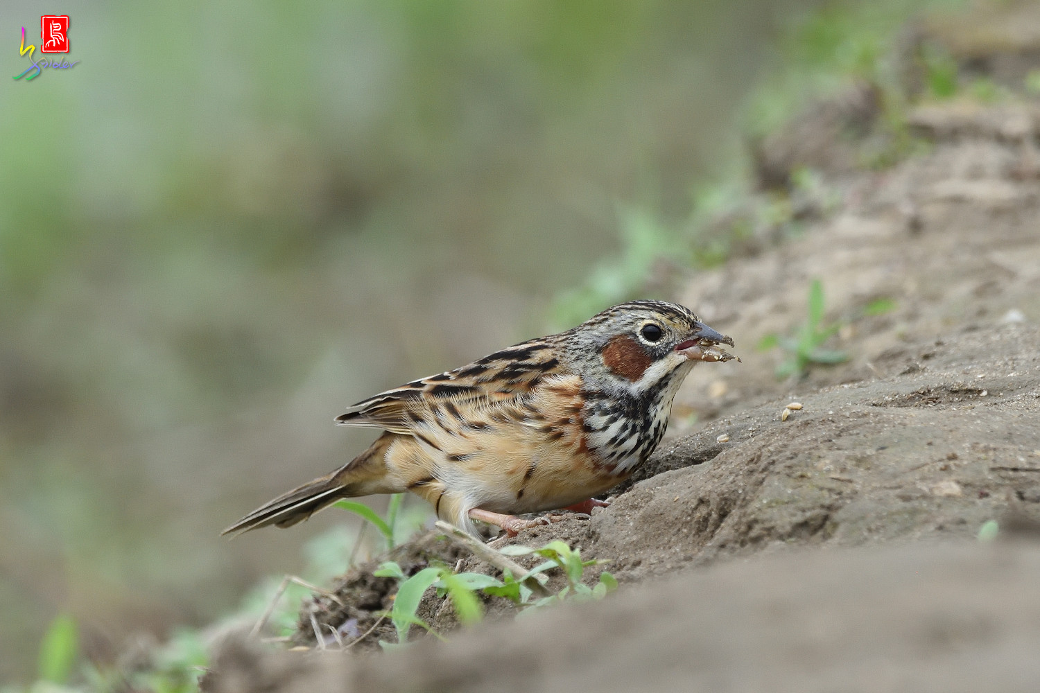 Chestnut-eared_Bunting_6575
