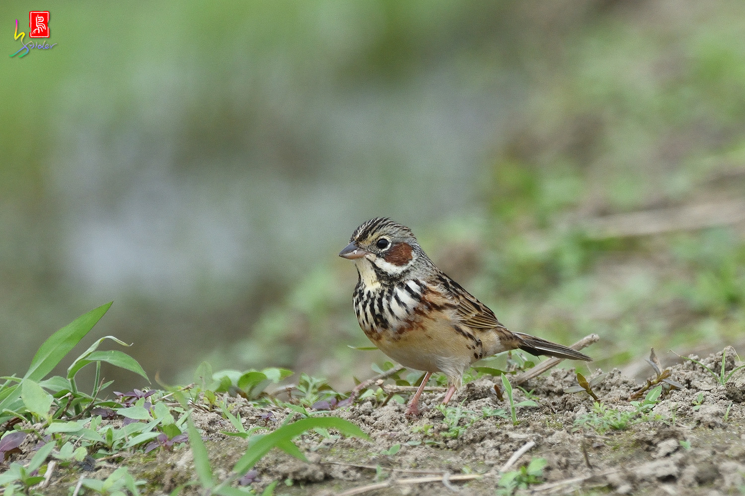 Chestnut-eared_Bunting_6382