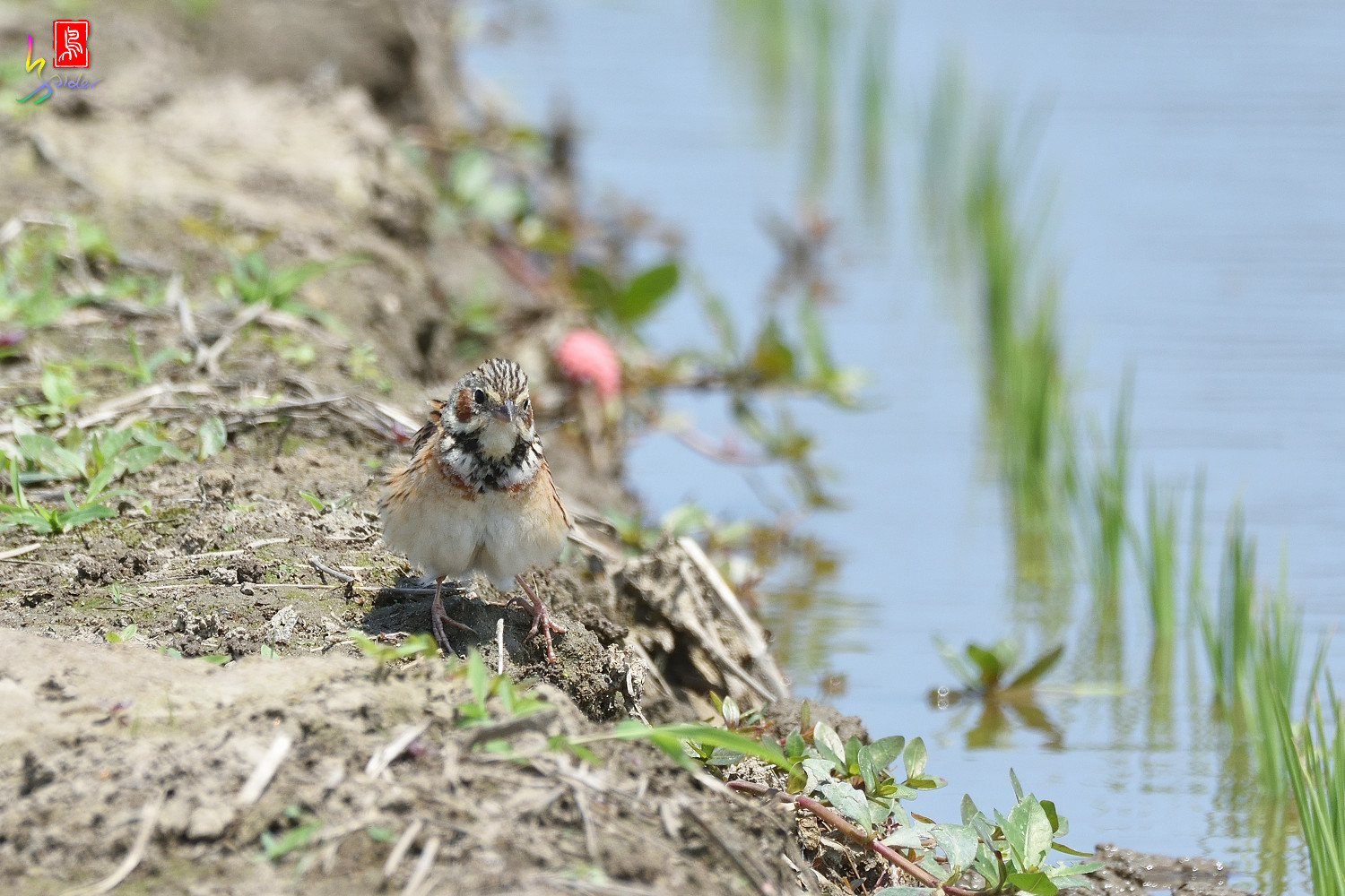 Chestnut-eared_Bunting_5442