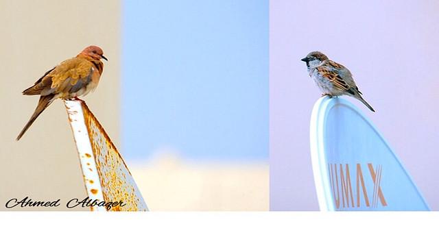 Between two birds بين طائرين العصفور و اليمامة