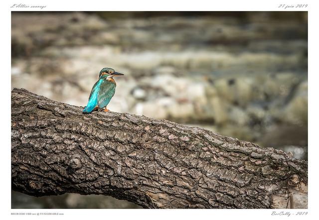 Le martin-pêcheur | Common Kingfisher