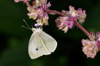White Butterfly | by Mike.Pursey