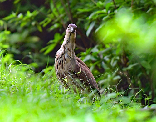 A Japanese night heron twisting its waist