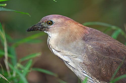 Japanese night heron: close-up view (1)