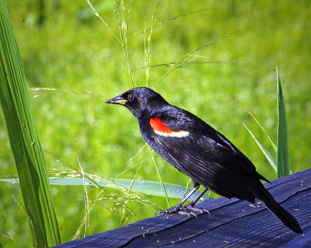 2018.06.22 Sweetwater Wetlands Red-winged Blackbird 1