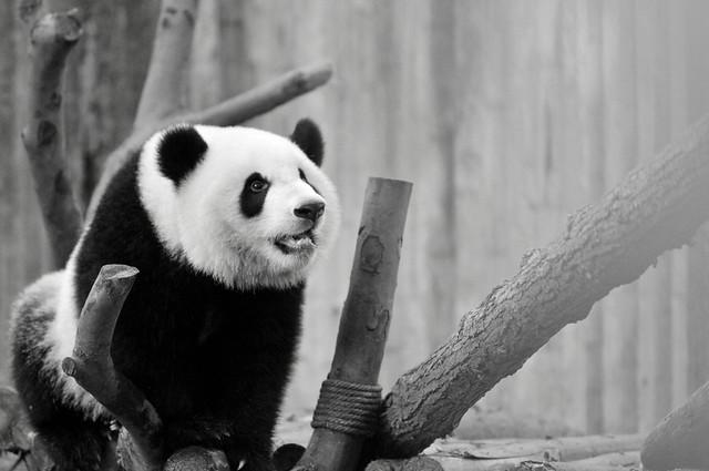 Chengdu Research Base of Giant Panda Breeding   Chengdu (成都市), Sichuan Province, China