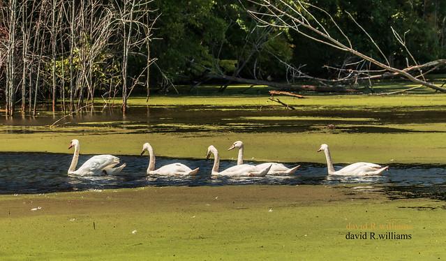 Follow the Leader Swan