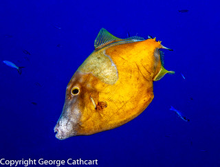 filefish orange