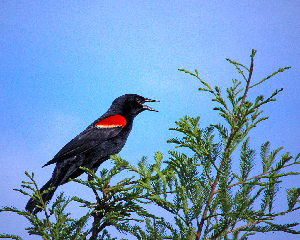 2018.06.22 Sweetwater Wetlands Red-winged Blackbird 2