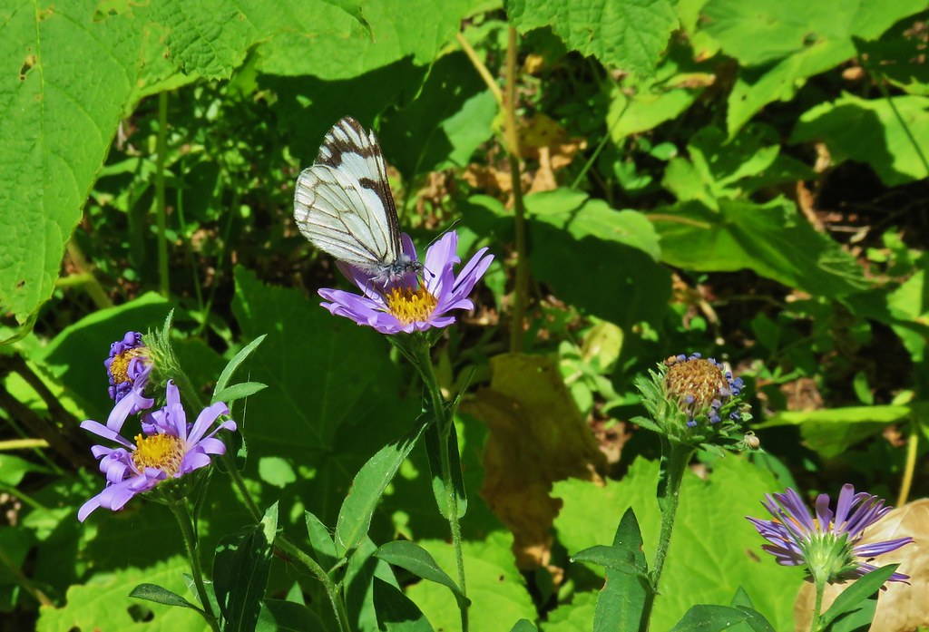 Butterfly on aster