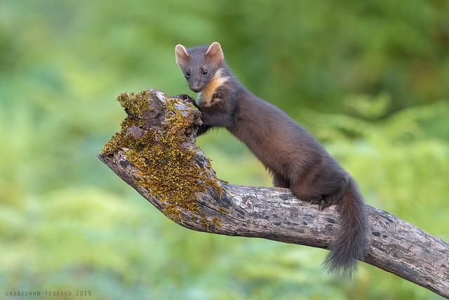 Martora - Pine marten