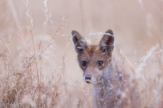 _MG_5983 renard (Vulpes vulpes)