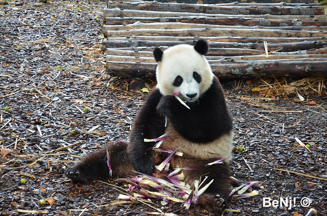 🐼 Panda Géant 🐼 - Giant Panda - Pairi Daiza