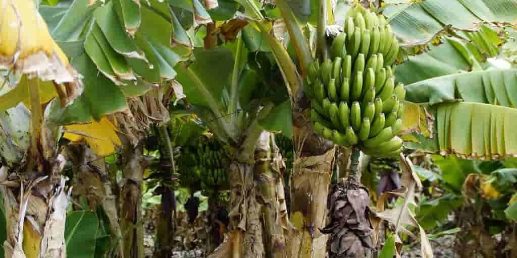 plantations-bananes-changement-climatique