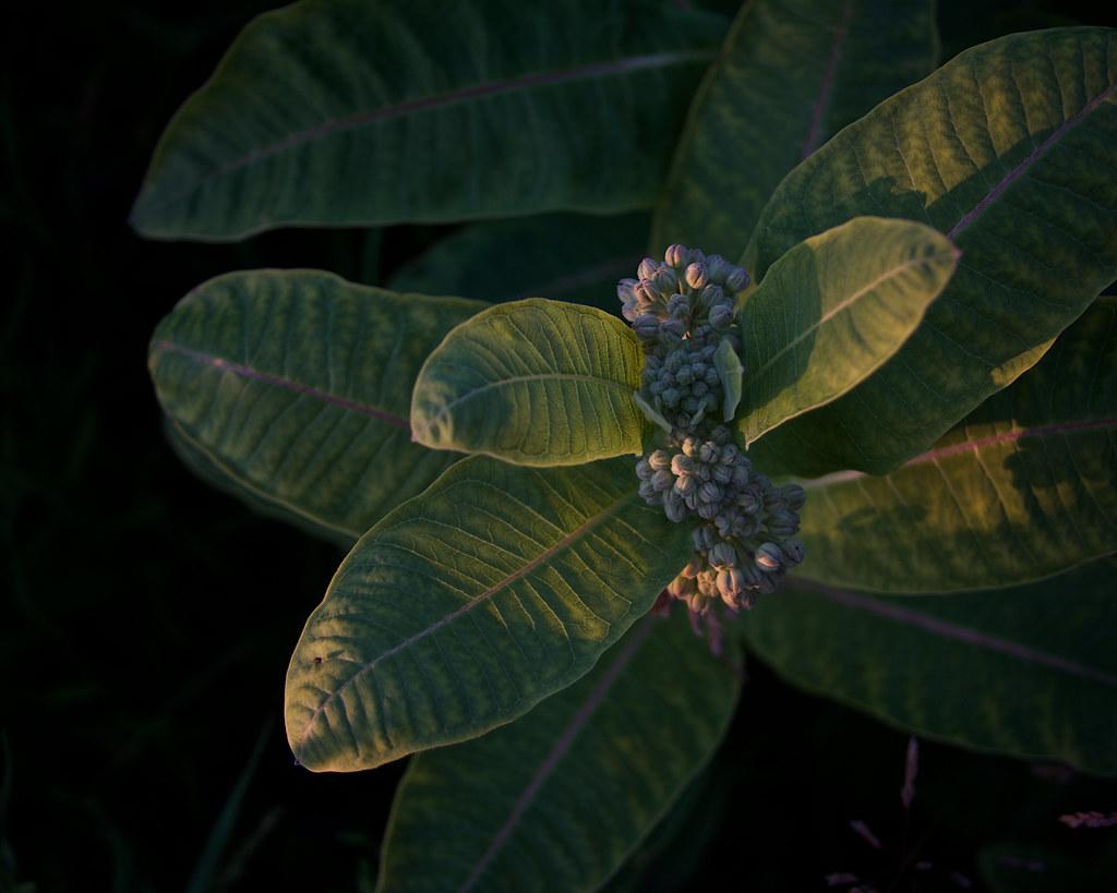 milkweeds, pre-blooming at dusk